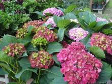 hydrangea hortenzia cserepes virag med