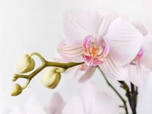phalaenopsis orchidea cserepes virag med