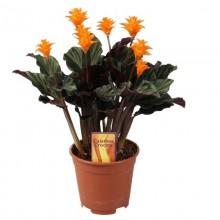 calathea crocata cserepes virag med