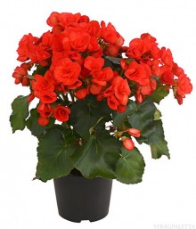 begonia eliator sudar begonia cserepes virag med